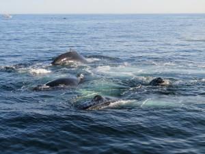 Whales feedingIMG_1072 (002)_2